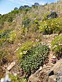 Euphorbia caputmedusae Table Mountain 3.JPG