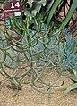 Euphorbia cedrorum.jpg