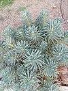 Euphorbia characias subsp. wulfenii - Ευφόρβιον ο χαρακίας.jpg