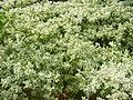 Euphorbia marginata.JPG