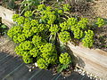 Euphorbia myrsinites reddish form (13349479435).jpg