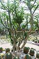 Euphorbia royleana - Chengdu Botanical Garden - Chengdu, China - DSC03546.JPG