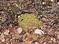 Euphorbia susannae PICT1028.JPG