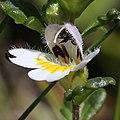 Euphrasia matsumurae (flower s6).jpg