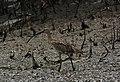 Eurasian Curlew Numenius arquata by Vedant Raju Kasambe DSC 4507 (15).jpg