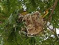 Eurasian Golden Oriole (Oriolus oriolus) on nest W IMG 9050.jpg
