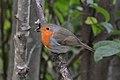 European Robin (Erithacus rubecula) - Oslo, Norway 2020-09-05 (02).jpg