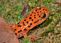 Eurycea lucifuga (Cave Salamander) (3679650501).jpg