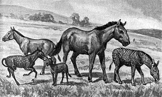 Equidae - Extinct equids restored to scale. Left to right: Mesohippus, Neohipparion, Eohippus, Equus scotti and Hypohippus