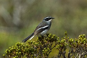 Fairy Warbler - South Africa S4E7312 (17143048570).jpg