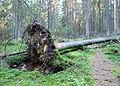 Fallen tree in Jyväskylä.jpg