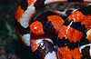 False Coral Snake (Anilius scytale) close-up (13929278050).jpg