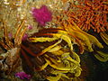 Feather stars on MV Orotava DSC04835.JPG