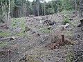 Felling Broughton Plantation - geograph.org.uk - 30135.jpg