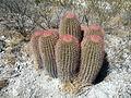 Ferocactus pilosus (5711022110).jpg