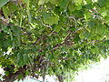 Ficus old-Leaves.JPG