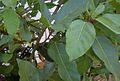 Ficus racemosa leaves.jpg
