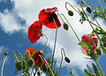 Field poppies and summer sky 1 (4749395921).jpg