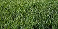 Field spring growth off Tawney Lane, Stapleford Tawney, Essex, England.jpg