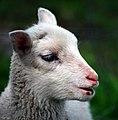 Finnish lamb (3572917592).jpg