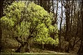 First Green Tree Of 2015 (115825975).jpeg