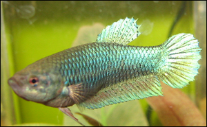 Siamese fighting fish (Betta splendens), proba...