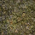 Fissurina subnitidula - Flickr - pellaea (1).jpg