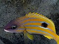 Five-lined snapper (Lutjanus quinquelineatus) (31619962854).jpg