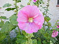 Fleur d'une rose trémière.JPG