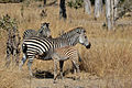 Flickr - ggallice - Plains zebra (2).jpg