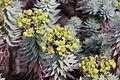 Flora della Sardegna 197 (5).JPG