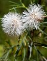 "Floral 18 ""Twin Dandelions"".jpg"