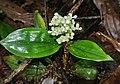 Floscopa peruviana 1.jpg