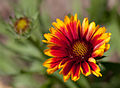 Flower, Common Perenial Gaillardia -Arizona Sun- Flipped - nekonomania.jpg