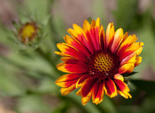 Flower, Common Perenial Gaillardia -Arizona Sun- Flipped - nekonomania