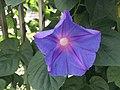 Flower of Ipomoea nil 20190908.jpg