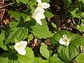 Flower of Trillium.jpg