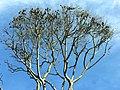 Flying Foxes at the Botanic Gardens (3589479375).jpg