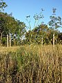 Foeniculum vulgare sl1.jpg