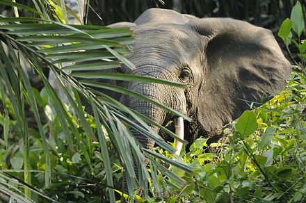 Forest elephant in habitat. It is considered to be an important seed disperser. Forest elephant.jpg