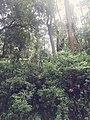 Forest of Mount Sibayak.jpg
