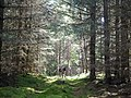 Forest track through Bellton Wood - geograph.org.uk - 1419801.jpg