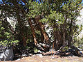 Forester-staging bonsai-tree campsite.jpg