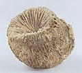 Fosil de coral (Montlivaltia obconica), Nattheim, Alemania, 2021-01-13, DD 057-082 FS.jpg