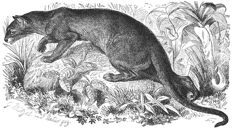 File:Fossa-drawing.jpg