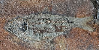 Fossil Actinopterygii fish