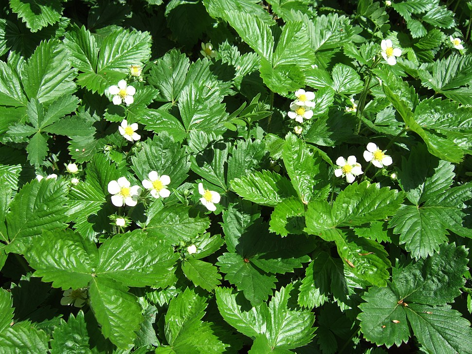 Fragaria vesca, wild strawberry