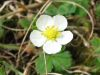 Fragaria viridis bluete.jpeg