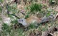 Franklin's Ground Squirrel - Flickr - GregTheBusker.jpg