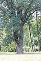 Fraxinus ornus - Crni jasen (6)445.jpg